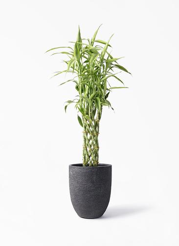 観葉植物 ドラセナ ミリオンバンブー(幸運の竹) 8号 ビアスアルトエッグ ブラック 付き