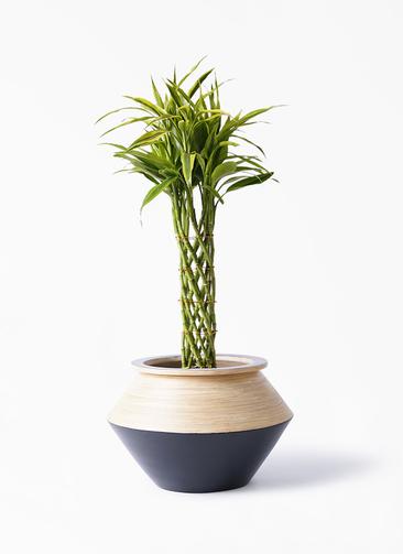観葉植物 ドラセナ ミリオンバンブー(幸運の竹) 7号 アルマジャー 黒 付き