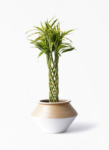 観葉植物 ドラセナ ミリオンバンブー(幸運の竹) 7号 アルマジャー 白 付き