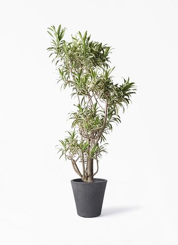観葉植物 ドラセナ ソング オブ インディア 8号 ビアスソリッド ブラック 付き