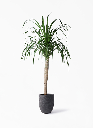 観葉植物 ドラセナ ドラコ 8号 ビアスアルトエッグ ブラック 付き