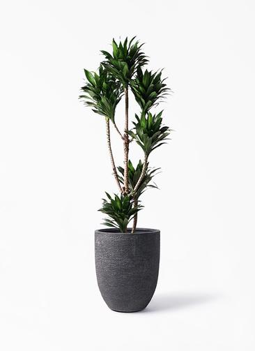 観葉植物 ドラセナ コンパクター 8号 ビアスアルトエッグ ブラック 付き