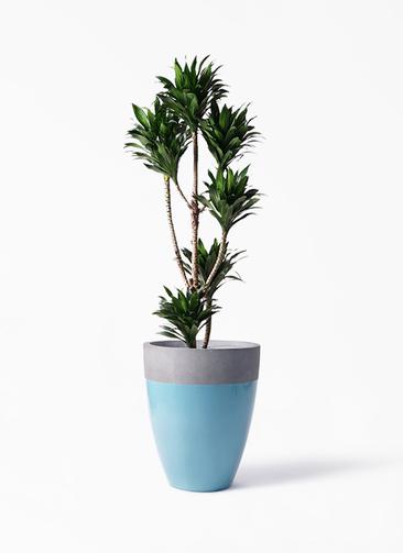 観葉植物 ドラセナ コンパクター 8号 ファイバーストーンカプリ 青 付き