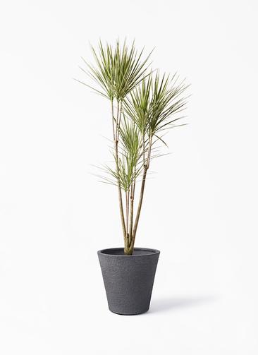 観葉植物 コンシンネ ホワイポリー 8号 ストレート ビアスソリッド ブラック 付き