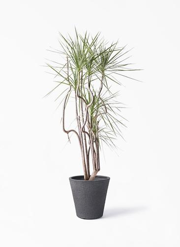 観葉植物 コンシンネ ホワイポリー 8号 曲り ビアスソリッド ブラック 付き
