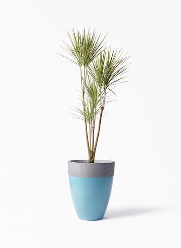 観葉植物 コンシンネ ホワイポリー 8号 ストレート ファイバーストーンカプリ 青 付き