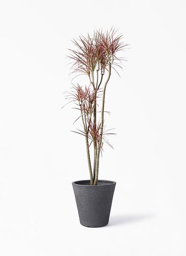 観葉植物 ドラセナ コンシンネ レインボー 8号 ストレート ビアスソリッド ブラック 付き