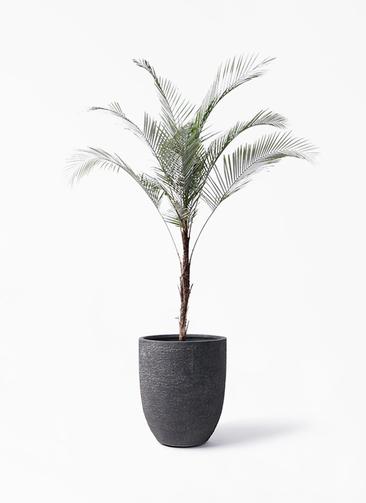 観葉植物 ヒメココス 8号 ビアスアルトエッグ ブラック 付き