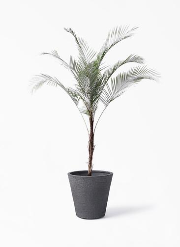 観葉植物 ヒメココス 8号 ビアスソリッド ブラック 付き