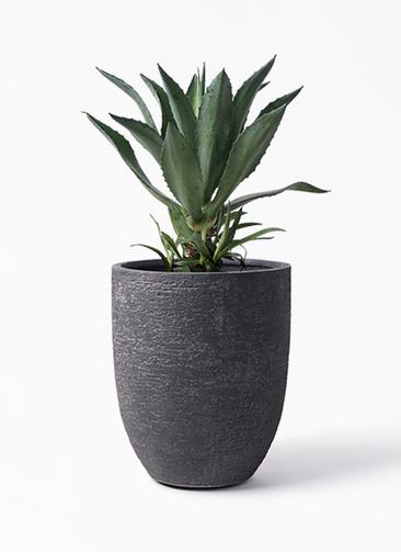 観葉植物 アガベ 8号 アメリカーナ ビアスアルトエッグ ブラック 付き