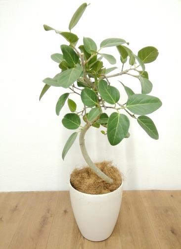 観葉植物 フィカス ベンガレンシス 【85cm】 フィカス ベンガレンシス 6号 #24126 ラスターポット付き