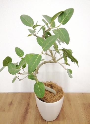 観葉植物 フィカス ベンガレンシス 【80cm】 フィカス ベンガレンシス 6号 #24127 ラスターポット付き