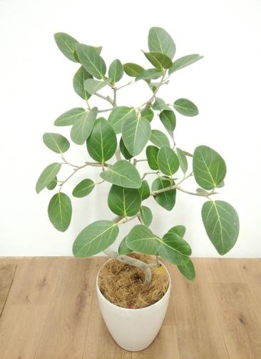 観葉植物 フィカス ベンガレンシス 【90cm】 フィカス ベンガレンシス 6号 #24128 ラスターポット付き