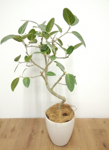 観葉植物 フィカス ベンガレンシス 【90cm】 フィカス ベンガレンシス 6号 #24129 ラスターポット付き