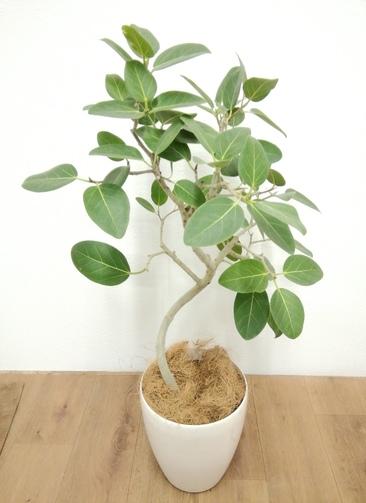 観葉植物 フィカス ベンガレンシス 【90cm】 フィカス ベンガレンシス 6号 #24130 ラスターポット付き