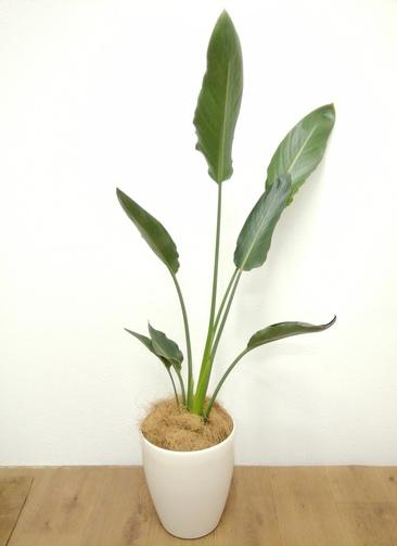 観葉植物 ストレリチア レギネ 【107cm】 ストレリチア レギネ 6号 #24131 ラスターポット付き