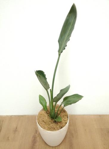 観葉植物 ストレリチア レギネ 【90cm】 ストレリチア レギネ 6号 #24132 ラスターポット付き