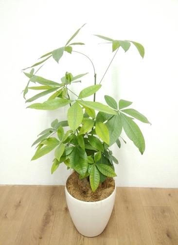 観葉植物 パキラ 【80cm】 パキラ 6号 #24136 ラスターポット付き