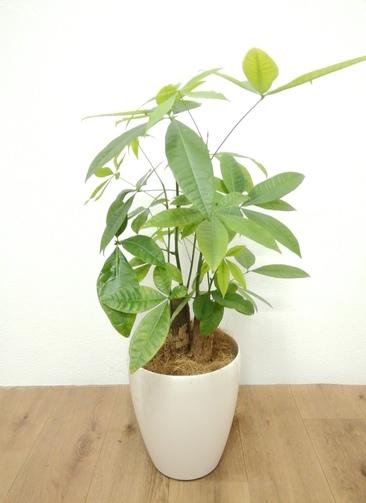 観葉植物 パキラ 【72cm】 パキラ 6号 #24137 ラスターポット付き