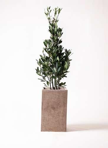 観葉植物 月桂樹 8号 セドナロング グレイ 付き