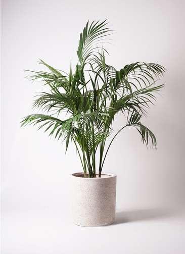 観葉植物 ケンチャヤシ 10号 サンディ シリンダー 白 付き