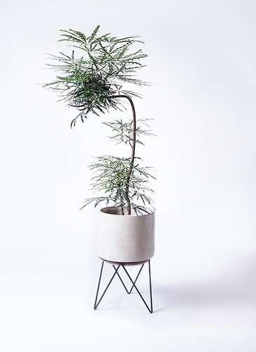 観葉植物 グリーンアラレア 8号 曲り(L字) ビトロ エンデカ 鉢カバースタンド付 クリーム 付き