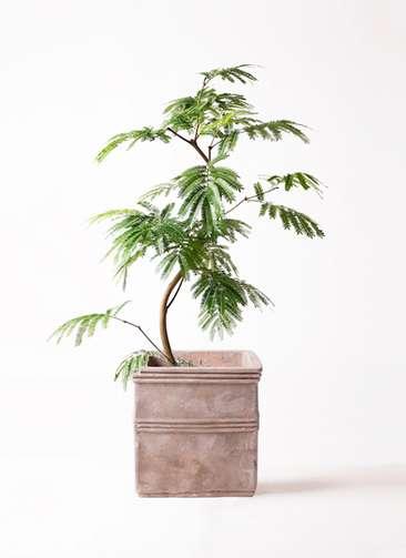 観葉植物 エバーフレッシュ 8号 曲り テラアストラ カペラキュビ 赤茶色 付き