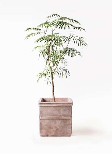 観葉植物 エバーフレッシュ 8号 ボサ造り テラアストラ カペラキュビ 赤茶色 付き