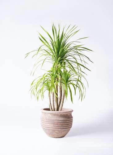 観葉植物 ドラセナ カンボジアーナ 8号 テラアストラ リゲル 赤茶色 付き