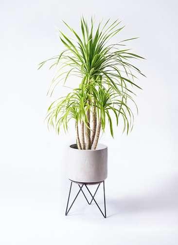 観葉植物 ドラセナ カンボジアーナ 8号 ビトロ エンデカ 鉢カバースタンド付 クリーム 付き