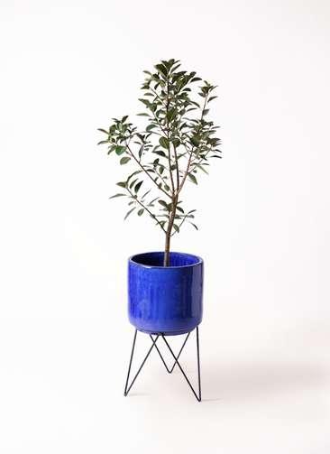 観葉植物 フランスゴムの木 8号 ノーマル ビトロ エンデカ 鉢カバースタンド付 ブルー 付き