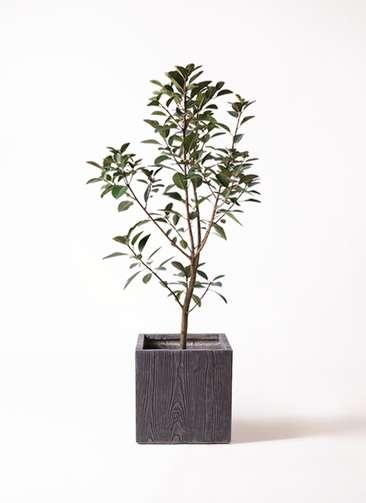 観葉植物 フランスゴムの木 8号 ノーマル ベータ キューブプランター ウッド 茶 付き