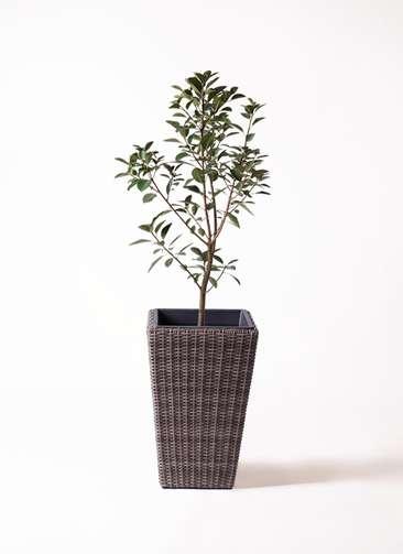 観葉植物 フランスゴムの木 8号 ノーマル ウィッカーポット スクエアロング OT 茶 付き