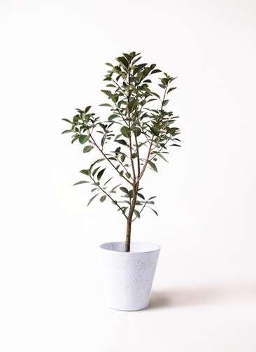 観葉植物 フランスゴムの木 8号 ノーマル フォリオソリッド 白 付き