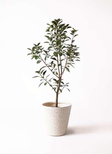 観葉植物 フランスゴムの木 8号 ノーマル ビアスソリッド 白 付き