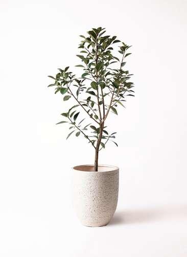 観葉植物 フランスゴムの木 8号 ノーマル ビアスアルトエッグ 白 付き