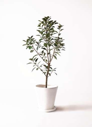 観葉植物 フランスゴムの木 8号 ノーマル サブリナ 白 付き
