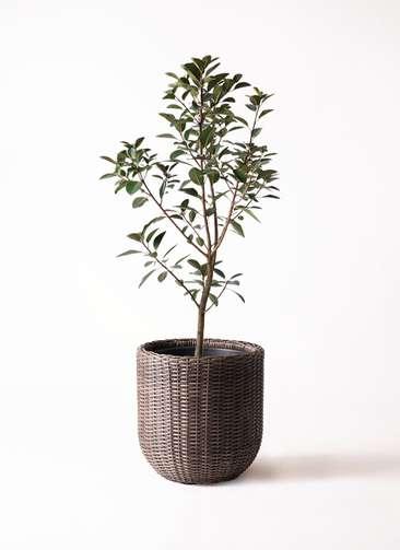 観葉植物 フランスゴムの木 8号 ノーマル ウィッカーポットエッグ 茶 付き
