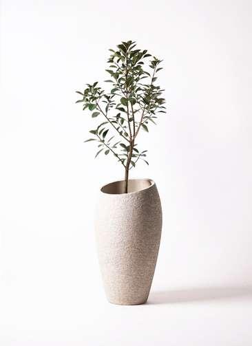 観葉植物 フランスゴムの木 8号 ノーマル エコストーントールタイプ Light Gray 付き
