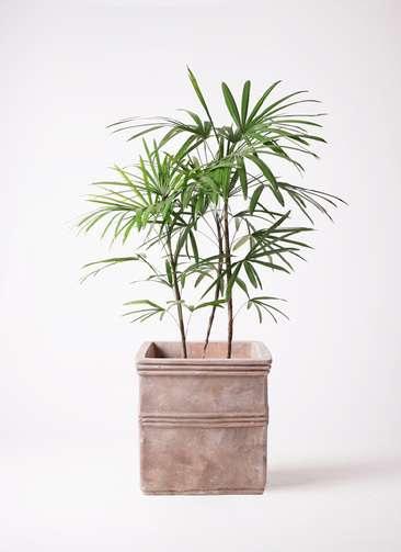 観葉植物 シュロチク(棕櫚竹) 8号 テラアストラ カペラキュビ 赤茶色 付き