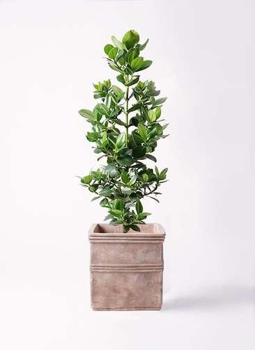 観葉植物 クルシア ロゼア プリンセス 8号 テラアストラ カペラキュビ 赤茶色 付き