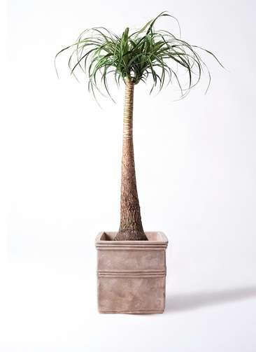 観葉植物 トックリラン ポニーテール 8号 テラアストラ カペラキュビ 赤茶色 付き