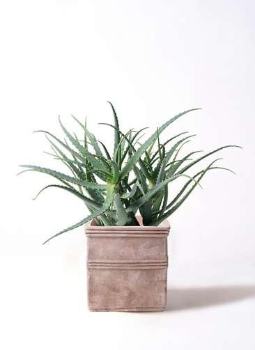 観葉植物 キダチアロエ 8号 8号テラアストラ カペラキュビ 赤茶色 付き