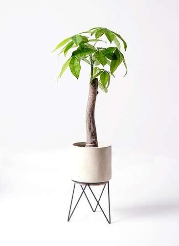 観葉植物 パキラ 8号 朴 ビトロ エンデカ 鉢カバースタンド付 クリーム 付き