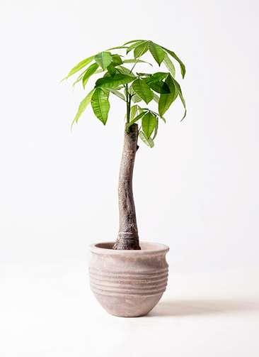 観葉植物 パキラ 8号 朴 テラアストラ リゲル 赤茶色 付き