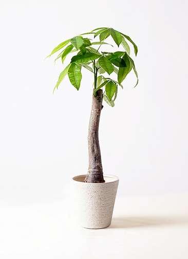 観葉植物 パキラ 8号 朴 ビアスソリッド 白 付き