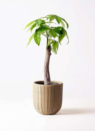 観葉植物 パキラ 8号 朴 ウィッカーポットエッグ ベージュ 付き