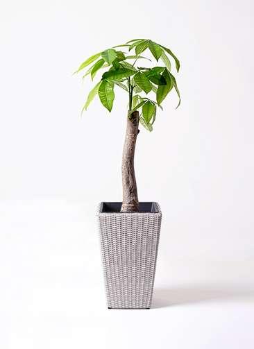 観葉植物 パキラ 8号 朴 ウィッカーポット スクエアロング OT 白 付き