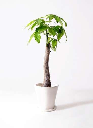 観葉植物 パキラ 8号 朴 サブリナ 白 付き