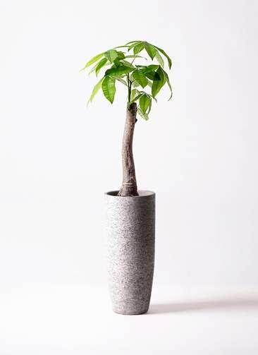 観葉植物 パキラ 8号 朴 エコストーントールタイプ Gray 付き